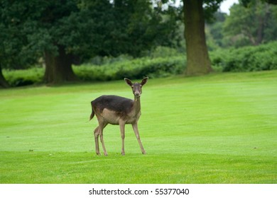 Doe standing in short grass with wooded area beyond, looking towards the camera, watching and listening