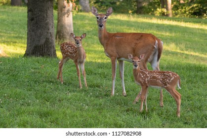 A doe and its two white-tailed deer fawns in an open meadow in summer