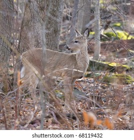 doe whitetail in the forest in early morning
