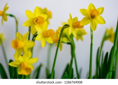 doffodil flowers on a white background with blur and green leaves