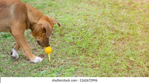 Dog in action,A dog is doubtful on the yellow ball golf with outdoor field,The dog breed is Thai shepherd dog,Dog with a yellow ball golf,