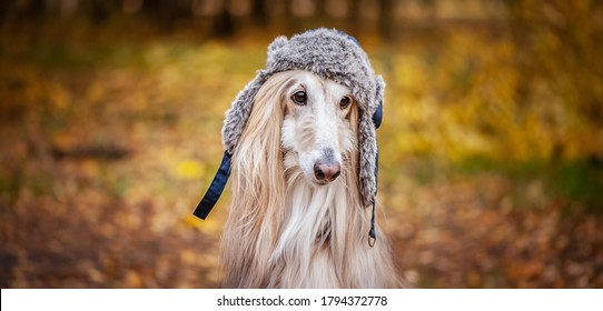Dog, Afghan hound in a funny fur hat, against the background of the autumn forest. Concept clothes for animals, fashion for dogs