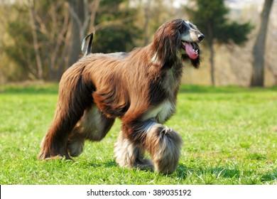dog Afghan hound walks into the setting sun