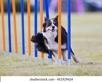Dog agility in action. The dog is going through slalom sticks. Image taken in an outdoor track. The dog breed is Australian shepherd dog.