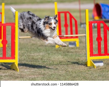 Dog agility in action on an outdoor track. Sunny summer day, green grass field. Fast and sporty dog.