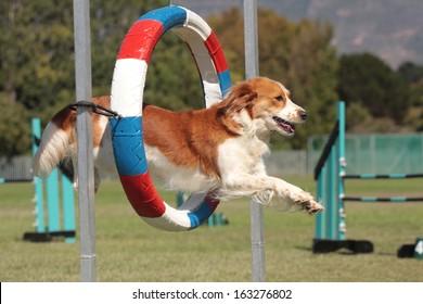 Dog Agility kooikerhondjie