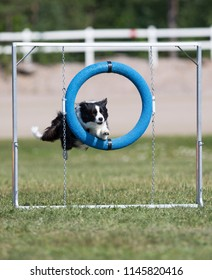 Dog agility, outdoor track. Fast and sport dogs in action.