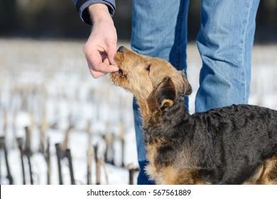 dog airedale terrier gets reward