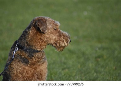 Dog Airedale Terrier, Waterside Terrier, Bingley Terrier