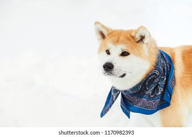 Dog akita-inu at the snow. Red Akita inu dog playing in the snow.