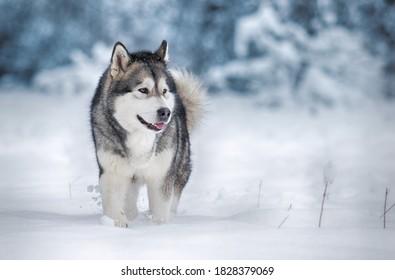 dog alaskan malamute in the snow in winter