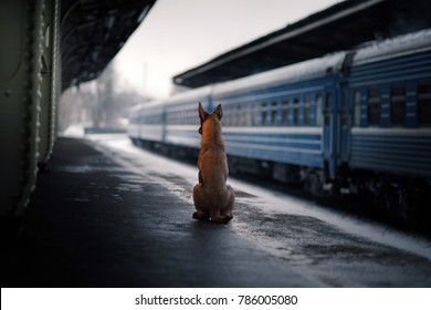 the dog is alone at the station. Belgian Shepherd Dog Malinois, Traveling with a pet