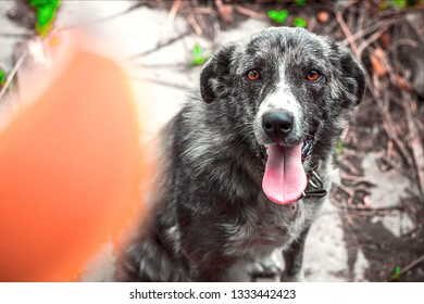 a dog with an amazing color and brown eyes obediently sits and looks at the treat, is going to execute the trainer's team