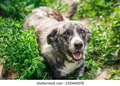 A dog with amazing color and brown eyes is lying on the grass, it is comfortable to her and she breathes fresh air