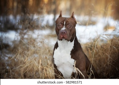 Dog American Pit Bull Terrier, portrait on nature