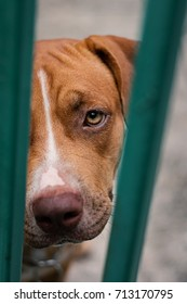 A dog (American Pit Bull Terrier) is trapped in a steel cage.Its eyes and face.I know it's sad and because it is hungry.