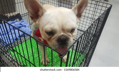 dog animal Pet show cute sale walk