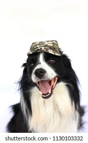 Dog with army masked cap. The breed is black and white border collie. The background is white.