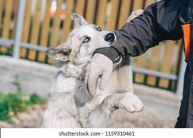 Dog attacking man biting his hand.