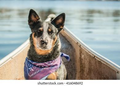 A dog (Australian cattle dog) in a canoe.