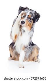 Dog Australian Shepherd Blue Merle ashamed