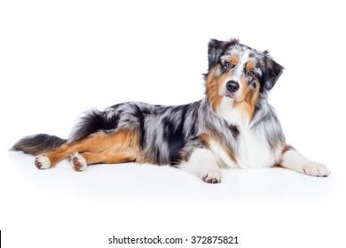 Dog Australian Shepherd Blue Merle lies and looks cute