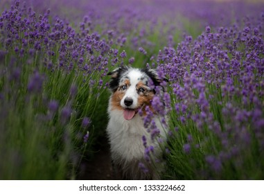 the dog is the Australian shepherd in lavender. Pet in the summer on the nature in colors