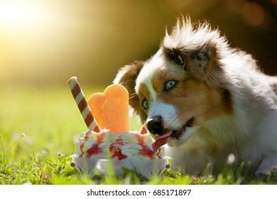 Dog, Australian Shepherd licking on an ice cream in green meadow