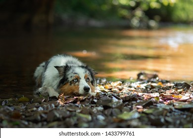 dog Australian shepherd on the lake on a cliff background. travelling with a dog on the sea
