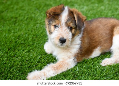 Dog: Australian Shepherd Puppy laying on artificial grass surface.