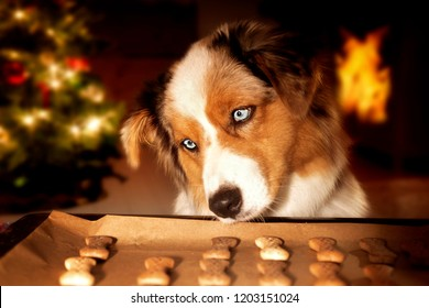 Dog; Australian Shepherd steals dog biscuits from baking tray at Christmas time