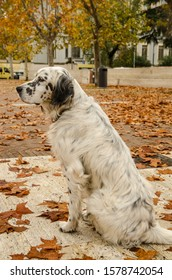 Dog in autumn.  English setter among the autumn leaves