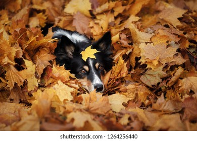 dog autumn on nature. active Pet in the Park. Yellow foliage, border collie tricolor