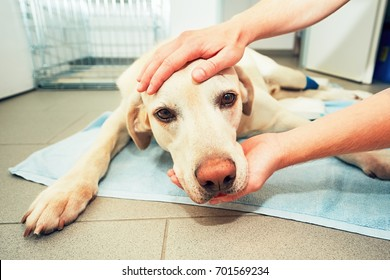 Dog awakening from anesthesia after tumor surgery. Ill labrador retriever in veterinary clinic.