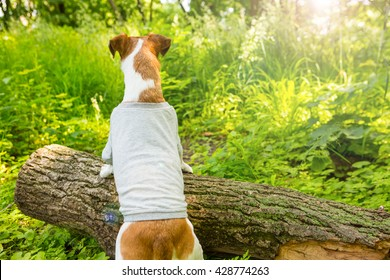 Dog back. Grey T-shirt without a pattern prints. You can place ads logo image or text. Sunny day forest walk. put forepaws on the beam