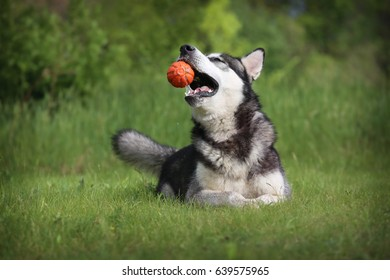 The dog with the ball. The Alaskan Malamute is holding the orange ball in his mouth. Dog plays with a toy in the woods.