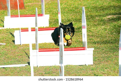 A Dog with a Ball jumps over Flyball Hurdles