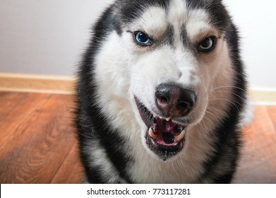 Dog bared and growls into the camera.  Siberian Husky is angry and shows fangs.