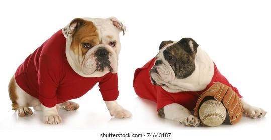 dog baseball teammates - two english bulldogs wearing red shirts with baseball and glove