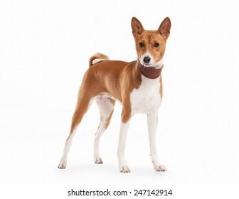 Dog. Basenji on white background