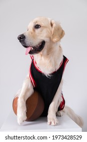 A dog in a basketball uniform with a ball sits on a white background. The Golden Retriever participates in a team sport. Active pets concept.