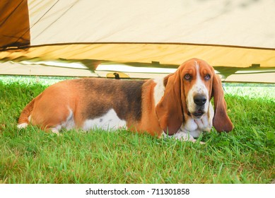 Dog, basset hound laying down on green grass inside a light brown tent install in garden. Lovely and kindness dog a little bit fat and smiling face.