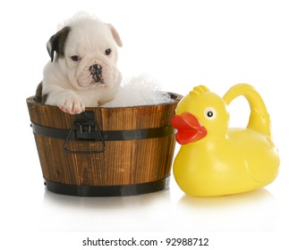 dog bath - english bulldog puppy sitting in tub with soap suds and rubber ducky