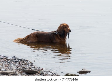 The dog is bathed in fresh water. The dachshund stands in the water, because it's hot. It adopts water procedures. The owner keeps the dog on a leash.