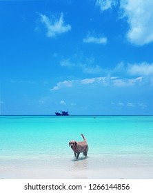Dog at the beach on Koh Lipe, Nice clear blue sky sea and sand on lipe beach thailand for nature background.