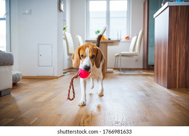 Dog Beagle featching a toy indoors in bright interior. Dog in house concept