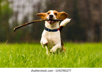 Dog Beagle having fun with a stick on a green field during spring runs towards camera