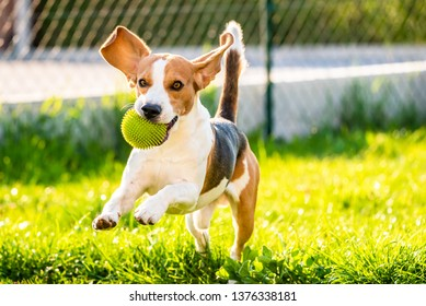 Dog Beagle with long floppy ears on a green meadow during spring, summer runs towards camera with ball. Copy space on right