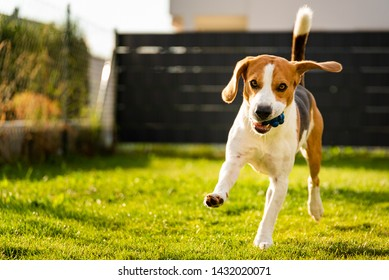 Dog Beagle with long floppy ears on a green meadow during spring, summer runs towards camera with ball. Copy space on left
