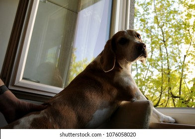 The dog (beagle) looking through the window under surveillance of the owner, sitting on the chair and concentrating.